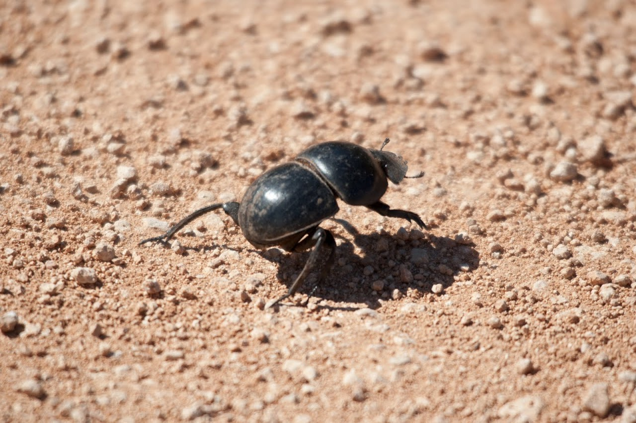 dung bettle essay As beetles are not very keen on making balls themselves, they will try to steal the balls of others in order for a beetle to safely keep its food, it needs to get its ball as far away from the dung pat in the.