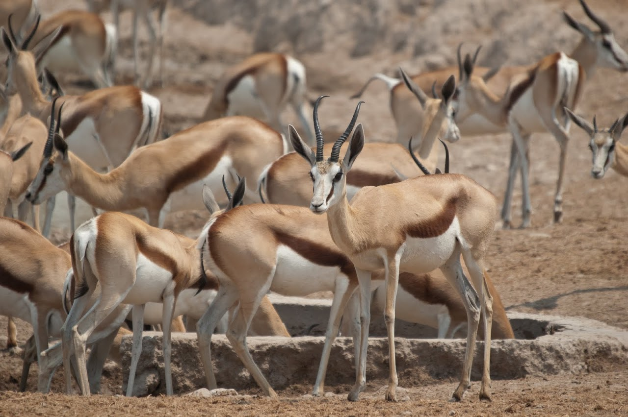 Springbok at watering hole