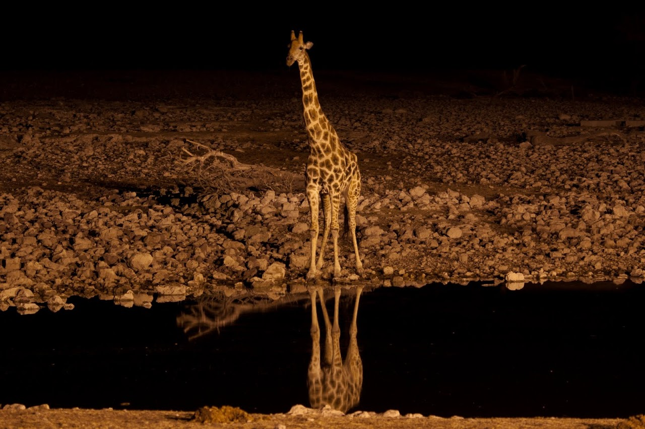 Giraffe at watering hole