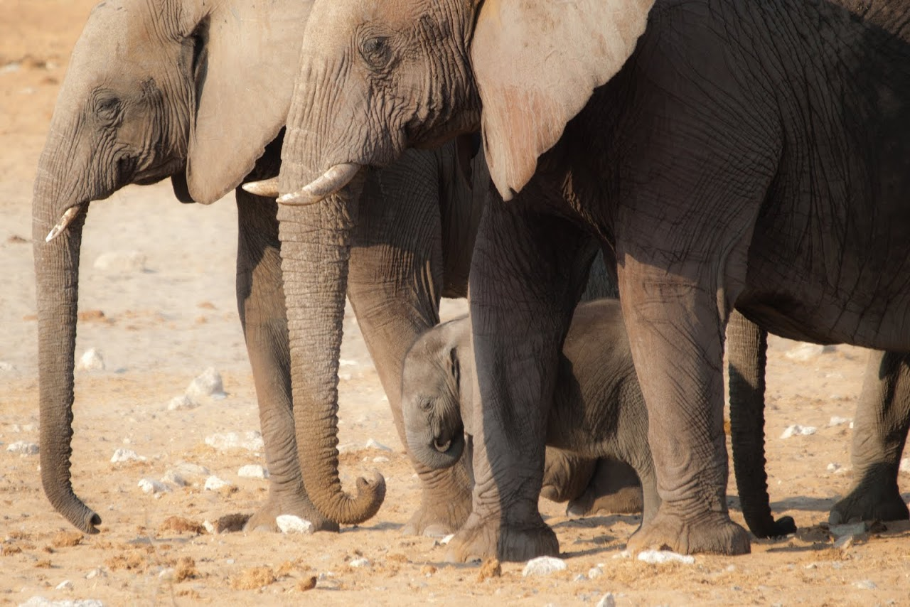 Elephants trunks Etosha