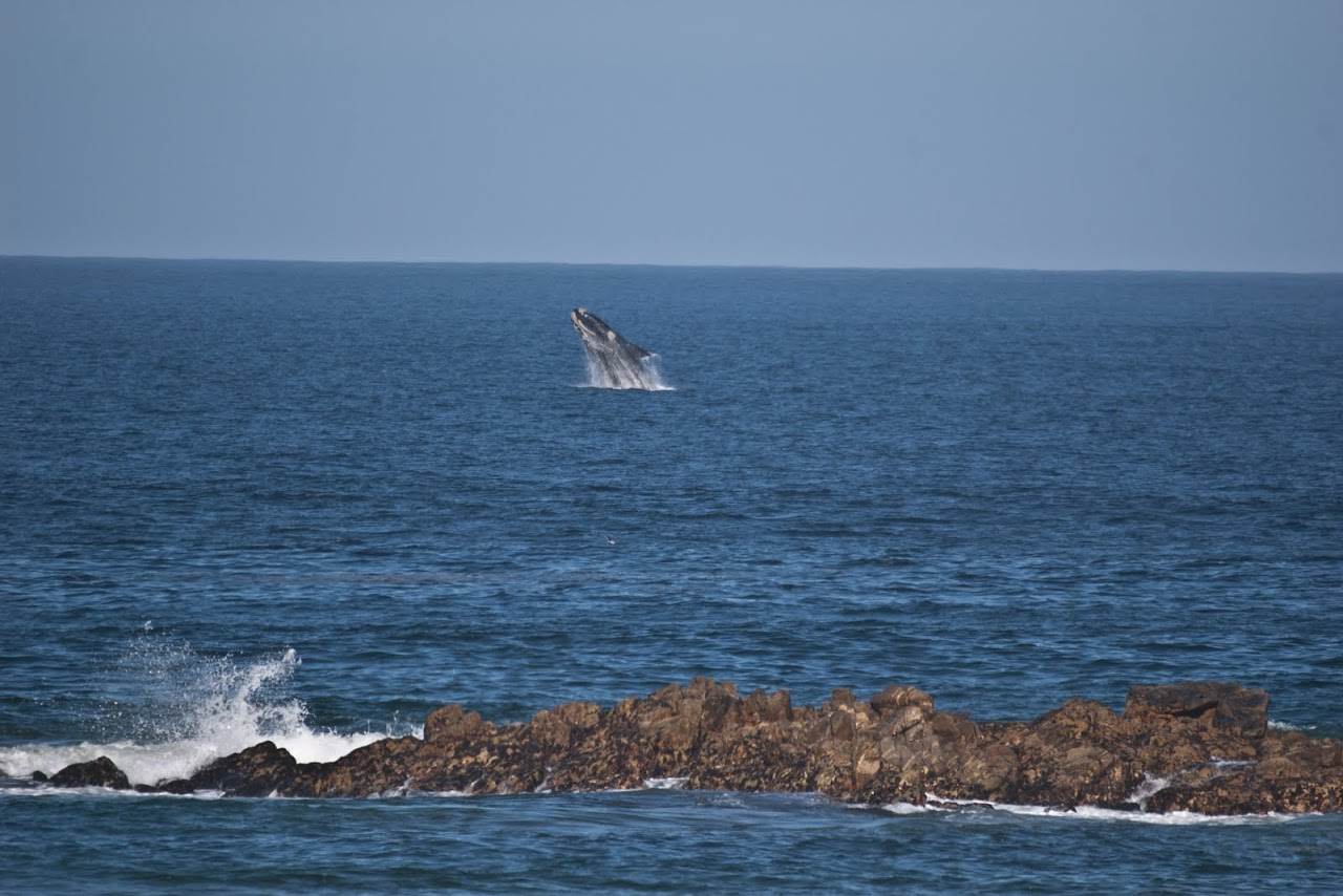 Whales at Plettenberg Bay